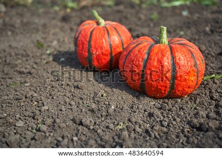 Two bright orange pumpkins outdoors lying on the land