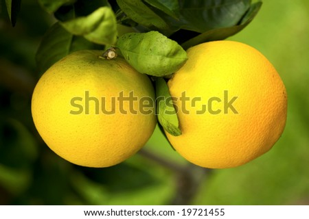 Two bright Oranges ripe on the tree