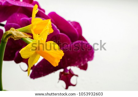 Two bright yellow flowers daffodils on stock photo image royalty two bright yellow flowers of daffodils on a background of purple orchids mightylinksfo