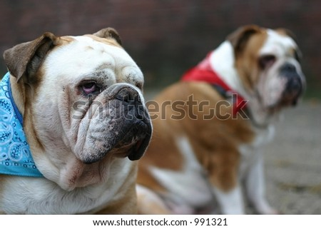 Two british bulldogs. Focus is on the male in front. - stock photo