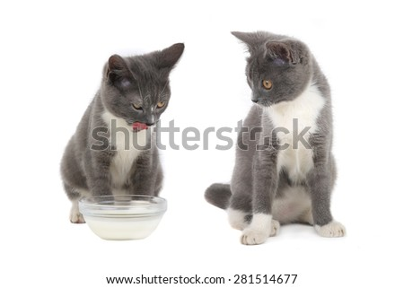 two  british kitten isolated on the white