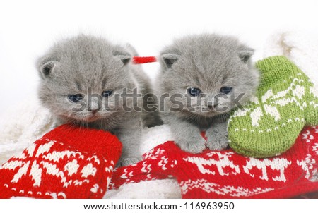 Two British kitten with mittens on a white background.