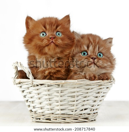 two british long hair kittens in a basket - stock photo