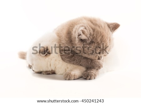two british short hair kittens isolated on white background