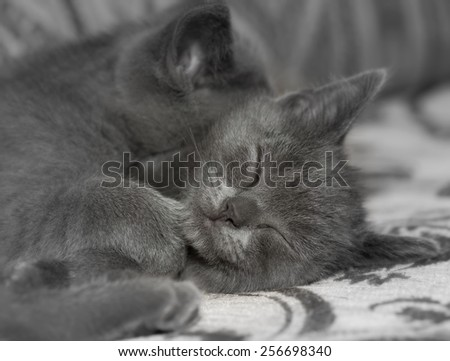 Two British Shorthair kitten sleeping.