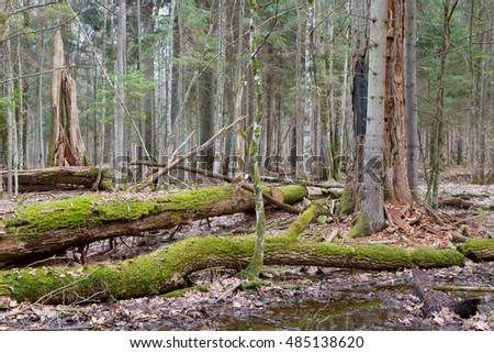 Two broken oak trees in spring forest stand just before vegetation starts,Bialowieza Forest,Poland,Europe