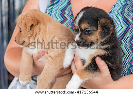 two brother puppies of dog between female hands