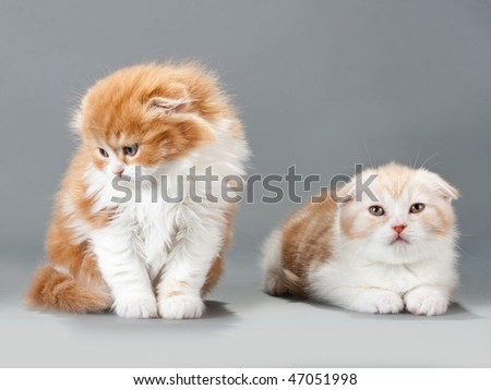 Two brothers kitten scottish fold breed on gray. No isolated.