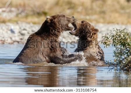 Two brown bears fighting  - stock photo