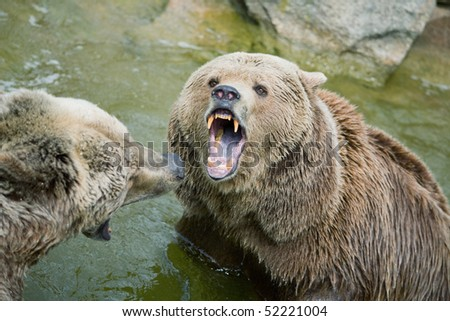 Two brown bears fighting over a male female spring