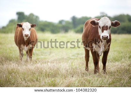 Two brown beef cows stopping and looking in a field. - stock photo