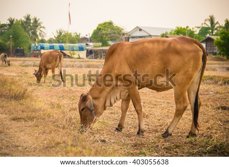 Two  Brown Cow