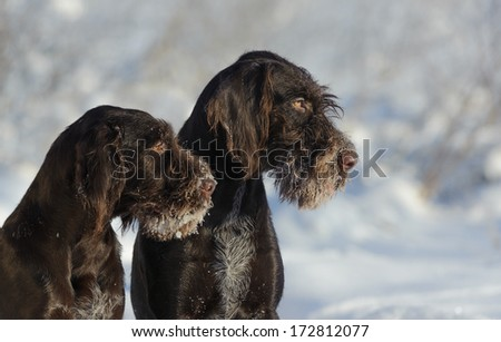 Two brown dogs portrait against the snow