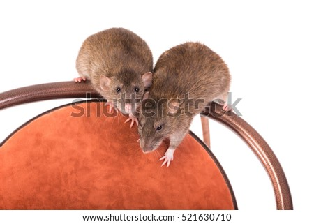 two brown domestic rats on a chair, isolated