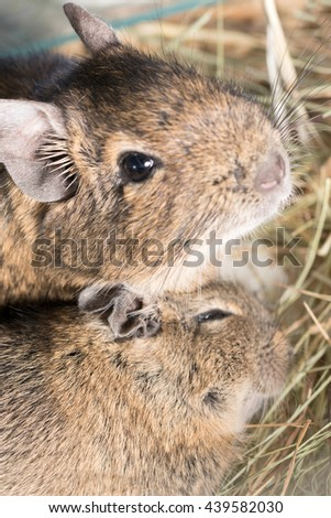 Two brown hamster in the straw - stock photo
