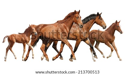 Two brown horses and two little foals family running free isolated on white