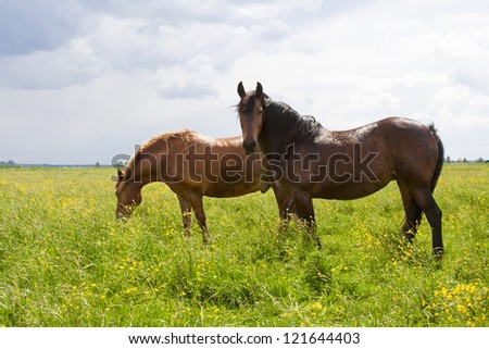 two brown horses in a summer field