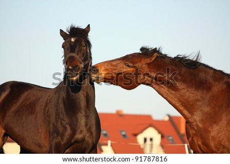 Two brown horses playing with each other - stock photo