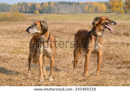 Two brown Kazakh greyhounds Tazi on a autumn wheat field