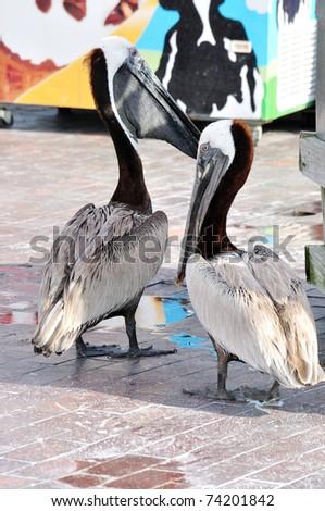 Two Brown Pelican (Pelecanus occidentalis) - stock photo