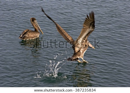 Two brown pelicans in the water. One swimming the other taking off to fly - stock photo