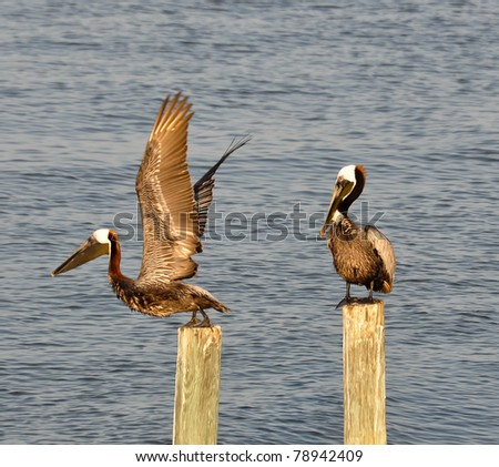 Two brown pelicans (Pelecanus spp.) at Cedar Key, FL - stock photo