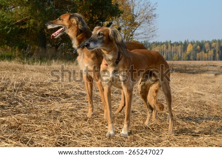 Two brown Saluki or Kazakh greyhounds Tazi standing on autumn meadow