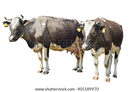 Two brown spotted cow isolated on a white background/ Two brown spotted cow isolated on a white background - stock photo