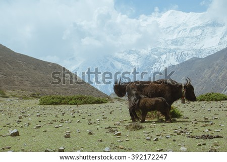 Two brown tibetan yaks in a pasture at Himalaya mountains