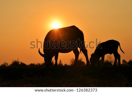 Two buffalo silhouette with sunlight background.