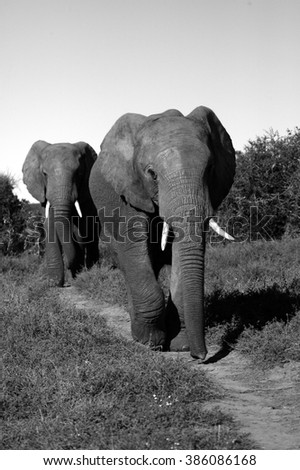Two bull elephants walk down a path. Taken on safari in South Africa. - stock photo