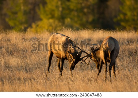 Two bull elk sparring in an open meadow at sunrise in Rocky Mountain National Park near Estes Park, Colorado - stock photo
