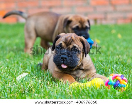 Two Bullmastiff puppies on a green lawn - stock photo