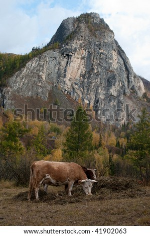 Two bulls pasture with mountain background.