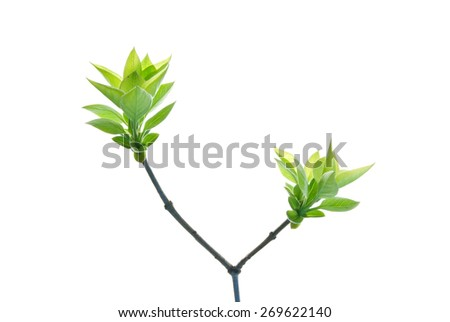 Two bunches of green leaves on a twig of lilac isolated on white  - stock photo