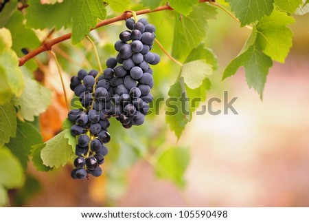 Two bunches of red wine grapes on vine with warm brown blurred background and green leaves. - stock photo