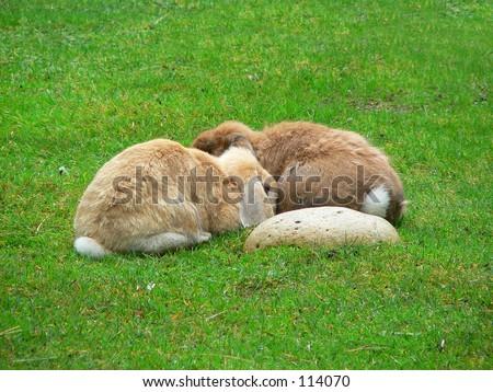 Two bunny rabbits huddled together. - stock photo