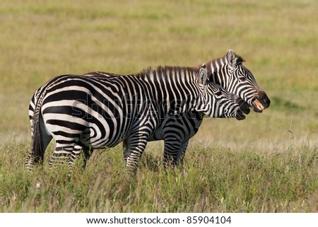 Two burchell's zebras play-fighting