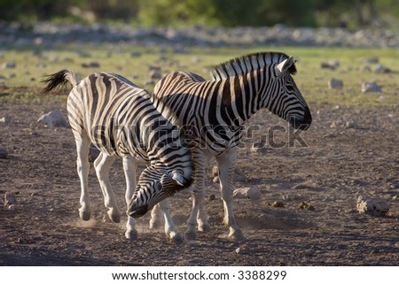 Two Burchells Zebras playing