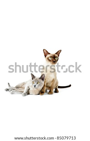 Two burmese cats isolated on white background - stock photo
