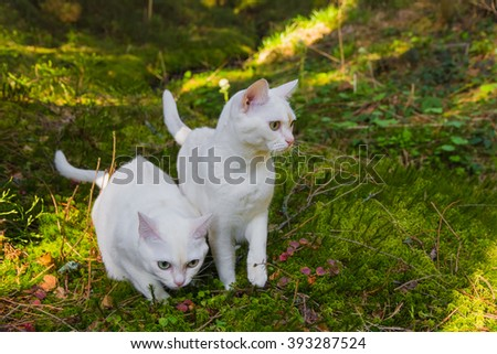 Two burmilla cats in the forrest, contrasty scene