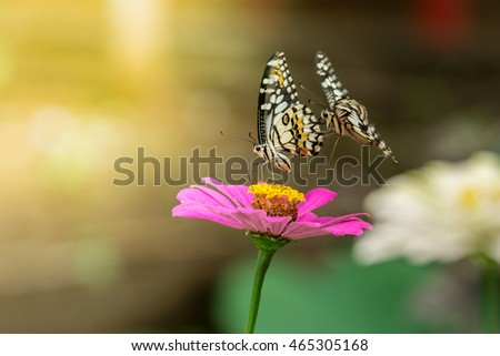 Two butterflies are flying to find nectar from pink Zinnia flowers, Lime Butterfly, Papilo demoles