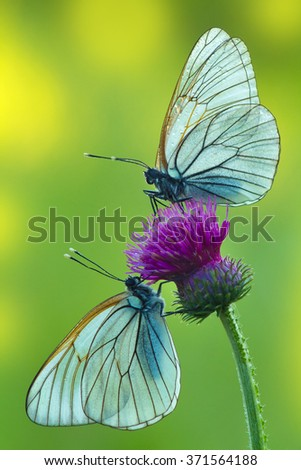 two butterflies facing each other - stock photo