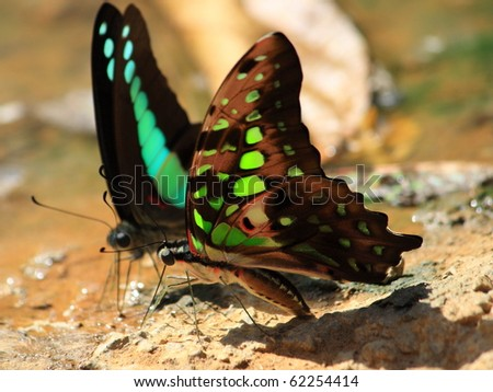 two butterfly drinking earth moisture - stock photo