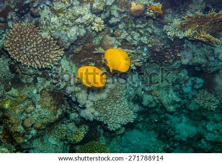Two butterflyfish swiminng near the stone wall of Red Sea coral reef - stock photo