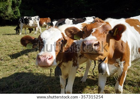 Two calfs and herd of cows on the pasture in Switzerland