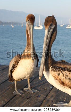 Two California pelicans on the Santa Barbara pier. - stock photo