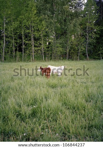 Two calves in a enclosed field, Sweden.