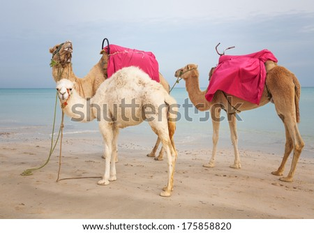 Two camels and white baby dromedary on the beach in Tunisia