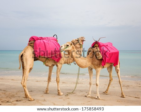 Two camels standing on the beach in Tunisia